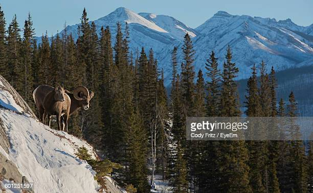 Bighorn Sheep On Mountain Against Trees