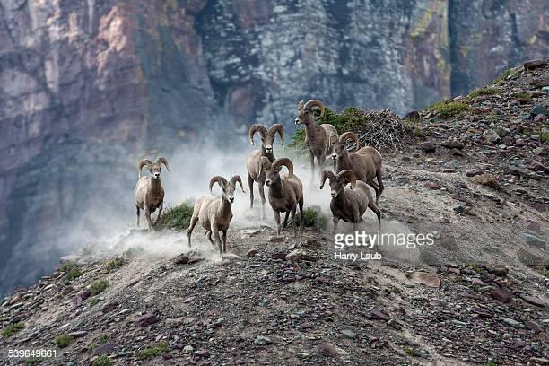 Bighorn Sheep -Ovis canadensis-, Glacier National Park, Montana, United States