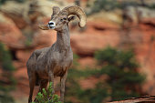 A Bighorn ram stands proudly on a sandstone cliff in Zion National Park.