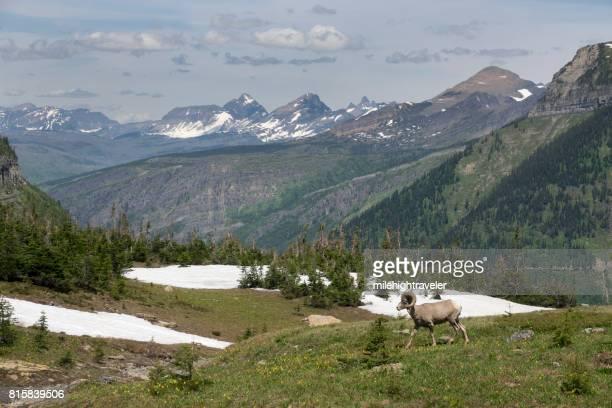 Bighorn sheep ram walks meadow Glacier National Park mountains Montana