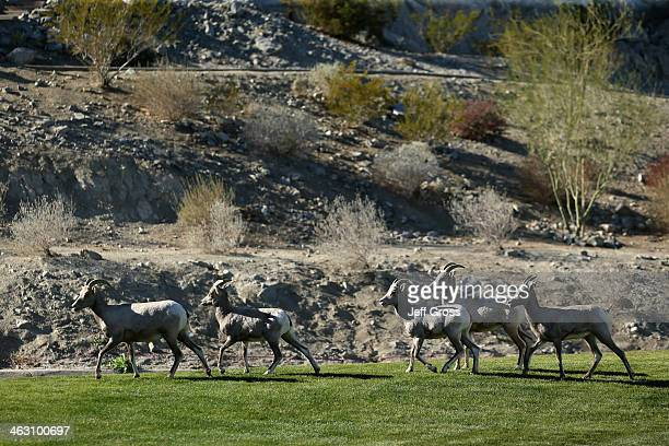 Bighorn sheep run on the Arnold Palmer Private Course at PGA West during the first round of the Humana Challenge in partnership with the Clinton...