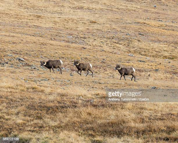 Bighorn Sheep Walking On Field