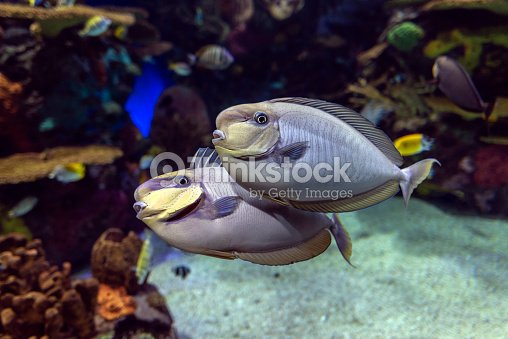 Bignose Unicornfish Naso Vlamingii Tropical Sea And Ocean Fish Close