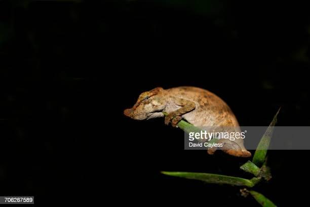 Big-nosed chameleon