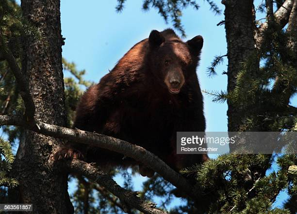 'Billy' a 250 pound Black Bear roosts 40 feet up a tree near a home on Hillcrest Blvd in Monrovia Tuesday July 23 2002 After absorbing a mace attack...