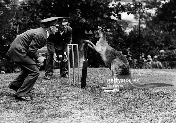Billy II a kangaroo at Manchester zoo playing cricket with his keepers
