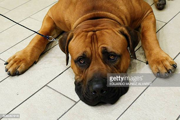 bilo a Boerboel rests after being introduced to the media during the 140th Annual Westminster Kennel Club Dog Show press conference on January 21 in...