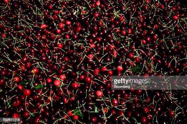 Bing cherries sit in a bin after being harvested at the Oregon Cherry Growers orchard in The Dalles Oregon US on Tuesday June 17 2014 Oregon Cherry...