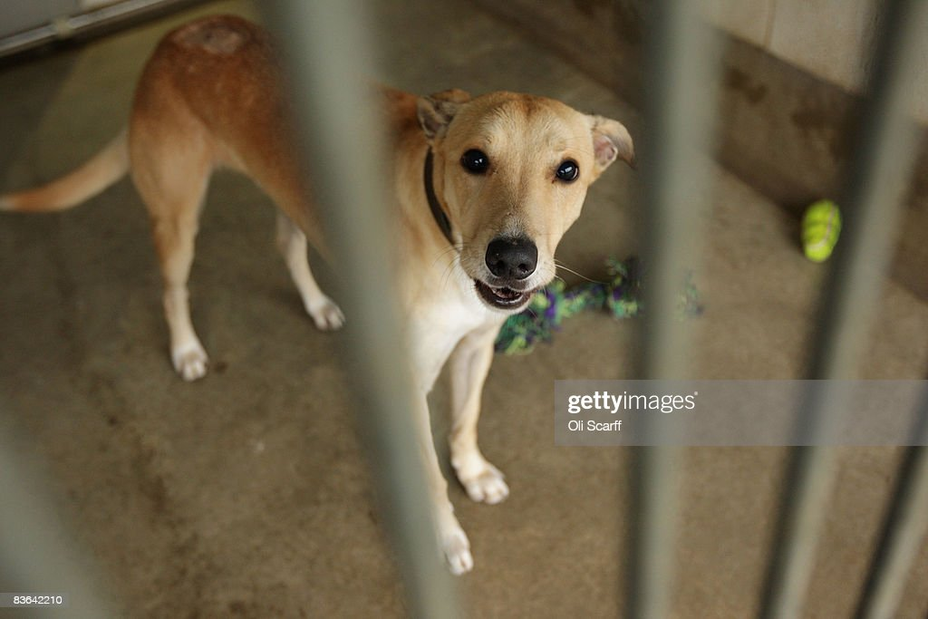 Bingo the lurcher waits for a new owner in a dogs home on November 10 2008 in London England In increasingly difficult economic times dogs homes are...