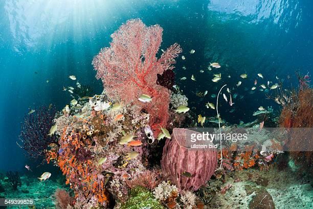 Biodiversity Coral Reef Raja Ampat West Papua Indonesia