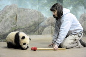 Biologist Laurie Thompson works with giant panda cub Bao Bao at the Smithsonian National Zoological Park on Tuesday January 07 2014 in Washington DC