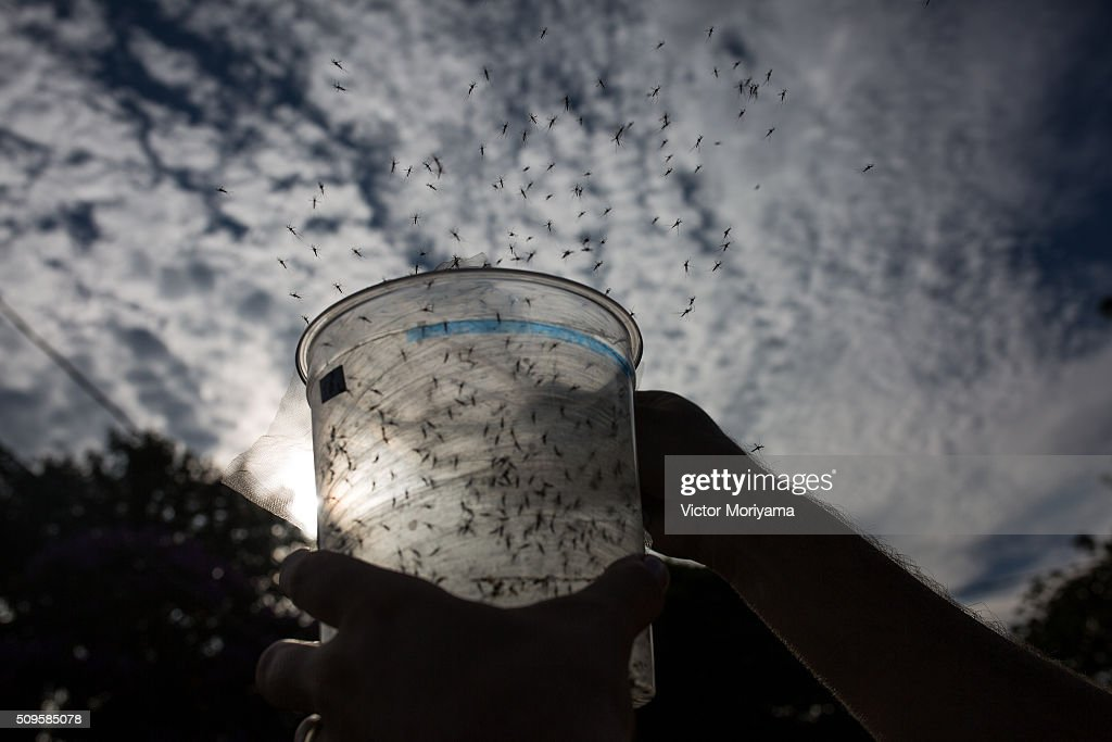 The Oxitec laboratory located in Campinas, 100km from Sao Paulo, is producing genetically modified mosquitoes Aedes Egypti to combat Zika virus. The laboratory is acting in Piracicaba who had a dengue outbreak last summer with 132 cases and after treatment showed only two cases this summer on February 11, 2016 in Campinas, Brazil. Campinas Daily are released 250,000 genetically modified mosquitoes in two neighborhoods with a large concentration of incident cases of egypti aedes mosquito. These mosquitoes compete with wild mosquitoes and win the battle because they were outnumbered. After the breeding season, the natural females lay eggs that are not genetically modified Zika virus transmitters.