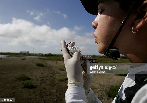 Biologist Science Tech Brooke Hill blows on the belly of a Western Sandpiper to examine the birds fat while testing it for the highly pathogenic H5N1...