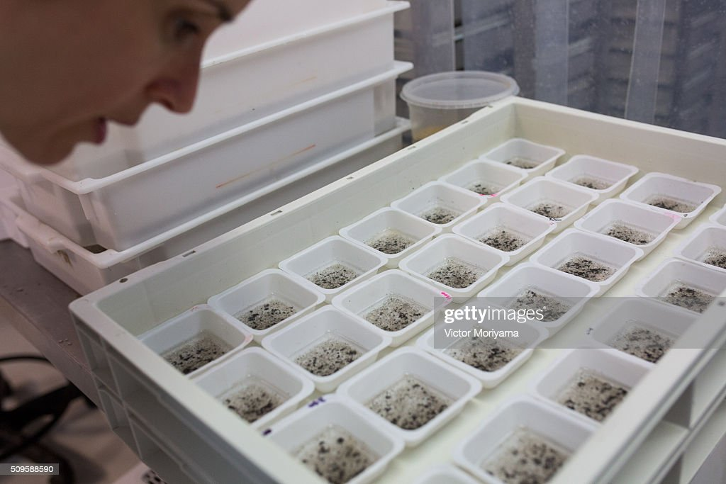 A Biologist works with genetically modified mosquitoes on February 11, 2016 in Campinas, Brazil. Technicians from the Oxitec laboratory located in Campinas, 100km from Sao Paulo, are releasing genetically modified mosquitoes Aedes Egypti to combat Zika virus. The laboratory is acting in Piracicaba who had a dengue outbreak last summer with 132 cases and after treatment showed only two cases this summer .The Lab will release 250,000 genetically modified mosquitoes in two neighborhoods with a large concentration of incident cases of egypti aedes mosquito, the modified mosquitoes compete with wild mosquitoes and replace them with non-Zika transmitting mosquitoes .