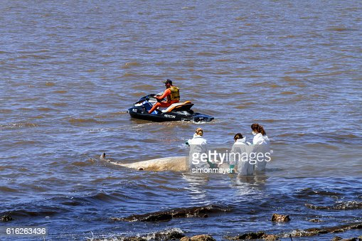 Biologists collect samples of a ziphiid aground off the coast : Stock Photo