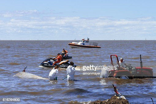 Biologists remove from the water a ziphiid aground : Stock Photo