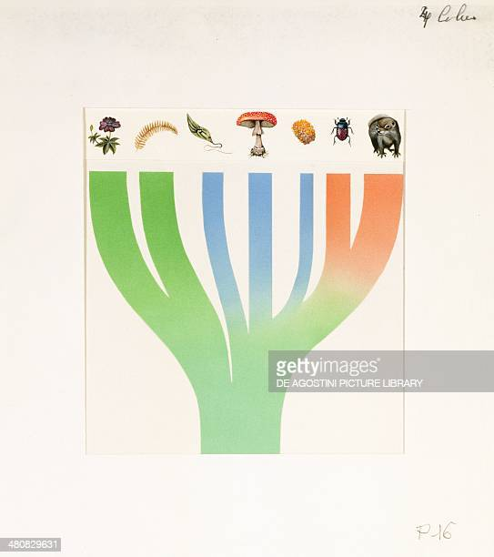 Biology Simplified scheme of the evolution of organisms divided in three groups plants protists animals Illustration