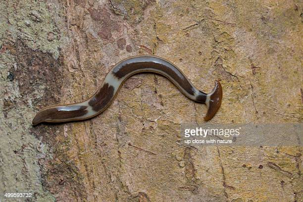 Bipalium sp. hammerhead worm on tree trunk