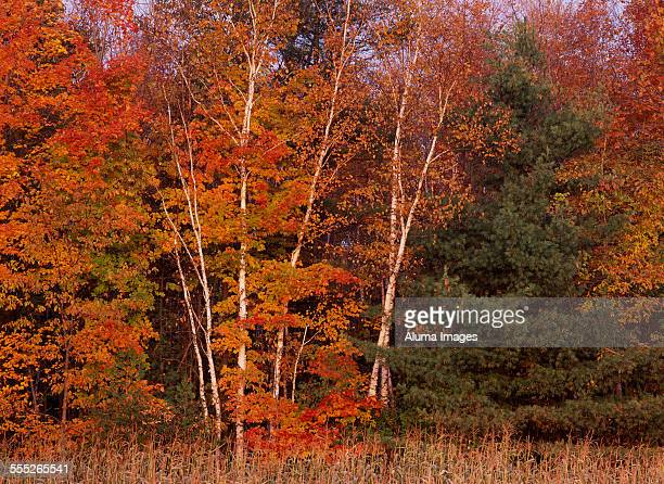 Birch and Maple forest