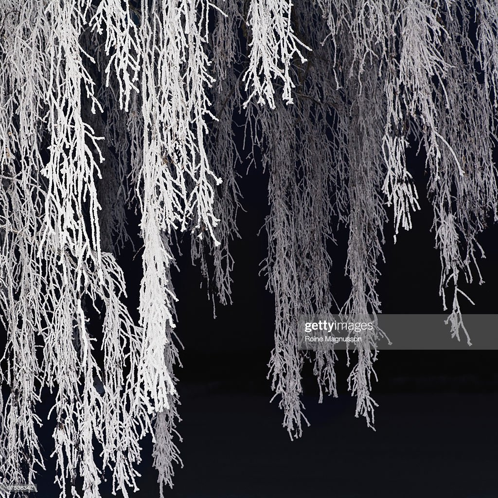 Birch branches in frost : Stock Photo