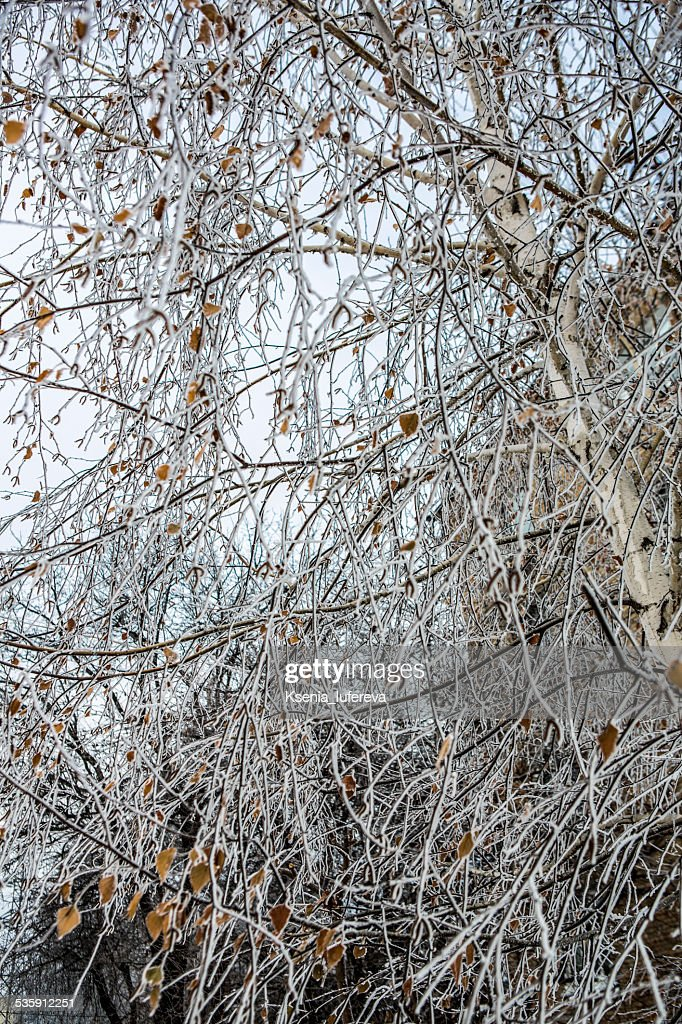 birch covered with frost : Stock Photo