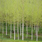 Birch (Betula), Dordogne, France