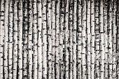 Fence made of young birch trees in black and white.