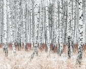 Birch forest at winter