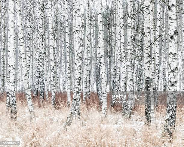 Birch forest at winter