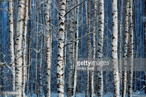 Birch forest : Stock Photo