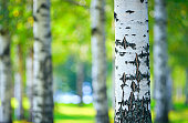 Birch tree (Betula pendula) forest in summer. Focus on foreground tree trunk. Shallow depth of field.