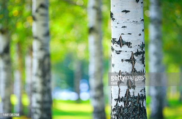 Birke Wald