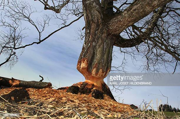A birch gnawed by beavers stands near Lengenwang southern Germany on April 9 2013 120 beavers have been resettled in southern parts of Germany...