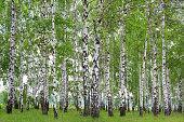 Spring landscape in a birch grove.
