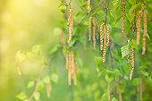 Birch in bloom