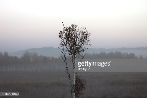 Birch in the morning mist : Foto stock