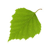 Birch leaf on white background. Clipping path included. Image was made using studio strobes.