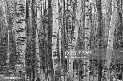 Birch Stand : Stock Photo