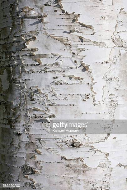 Birch surface background