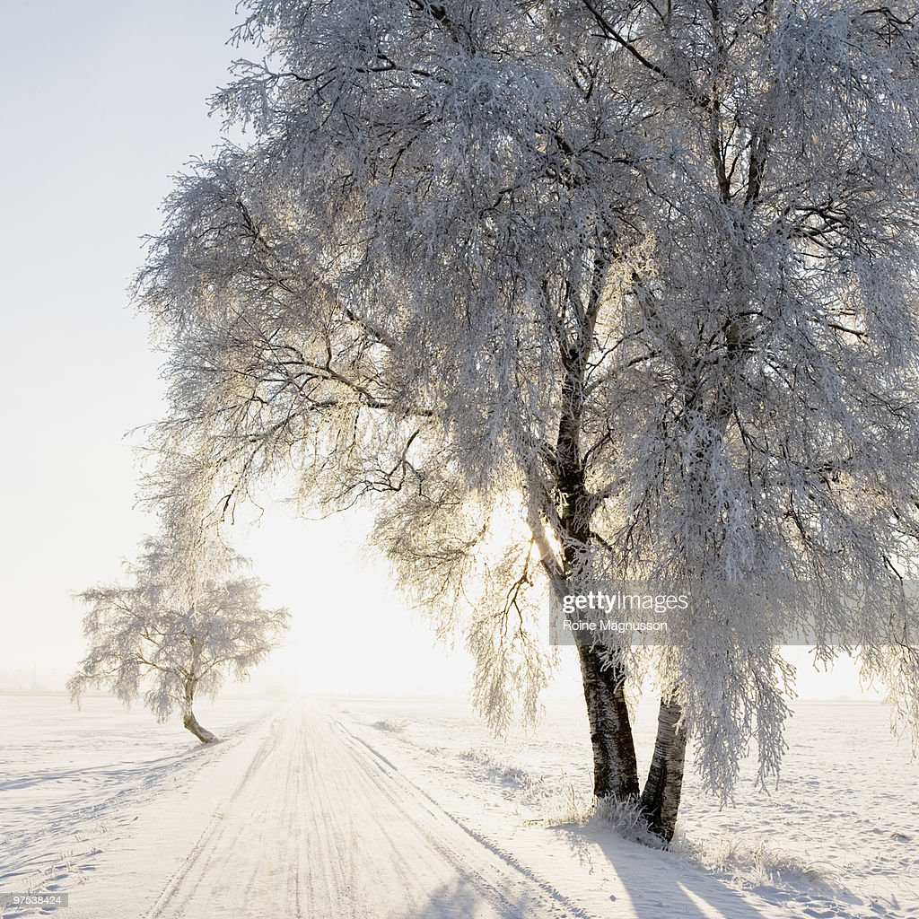 Birch tree and small road in winter landscape : Stock Photo