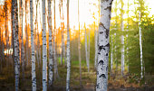 Birch tree in forest at spring sunset with green and orange background