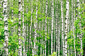 Birch tree background at summertime with green leaves