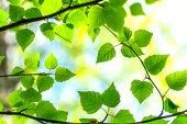 Birch tree branches