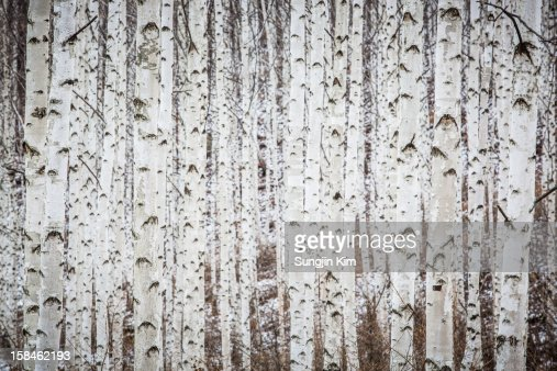 Birch tree forest in winter : Stock Photo