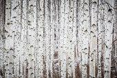 Birch tree forest in winter
