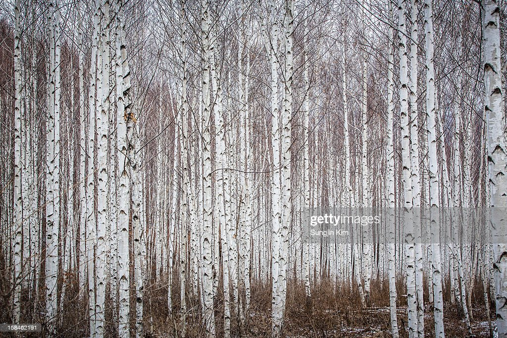 Birch tree forest : Stock Photo