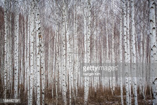 Birch tree forest : Stock Photo