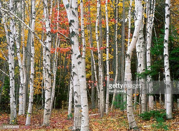 Birch Tree Grove in Autumn Colors