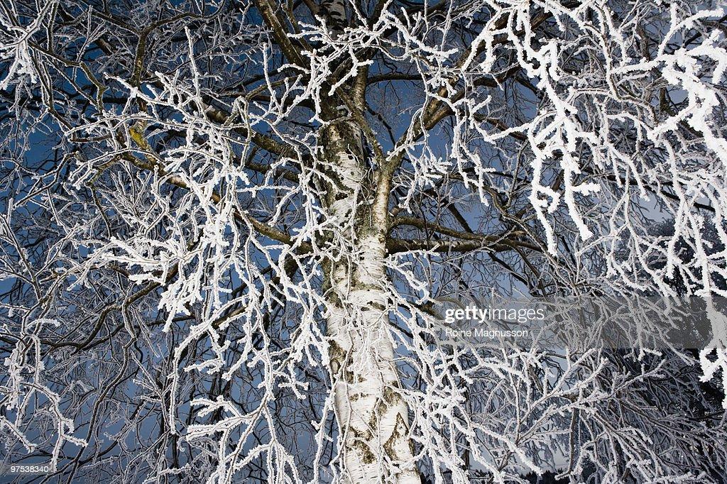 Birch tree in winter frost : Foto de stock