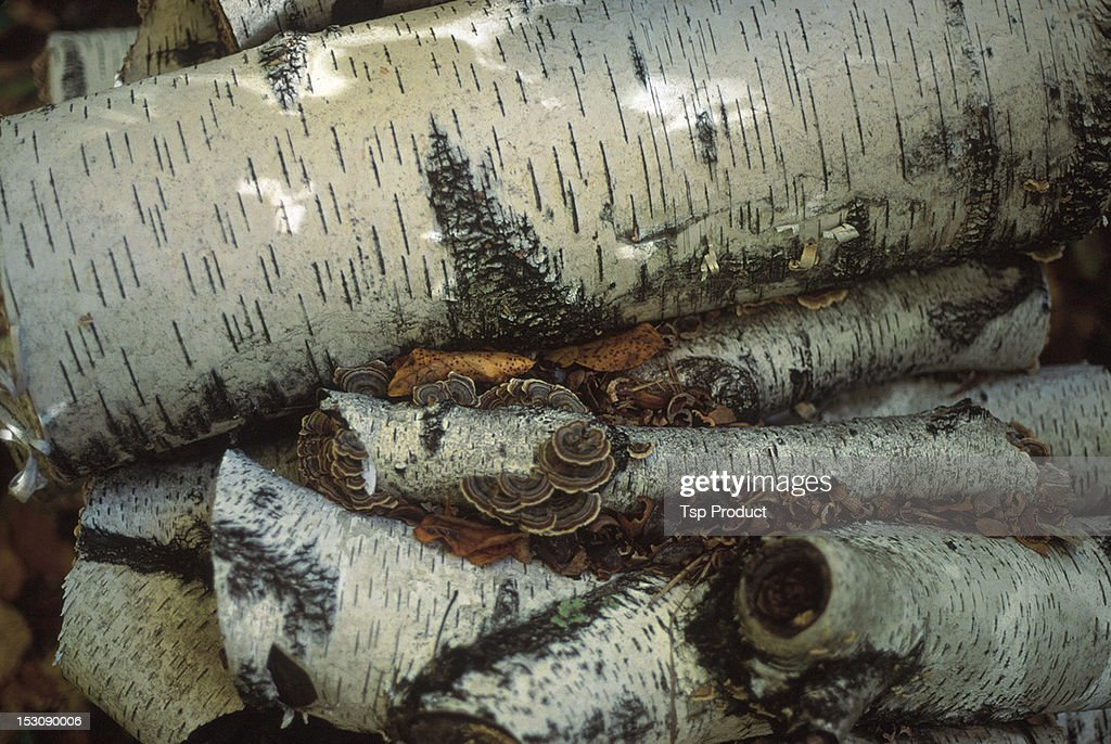 Birch tree logs with mushrooms in autumn : Stock Photo